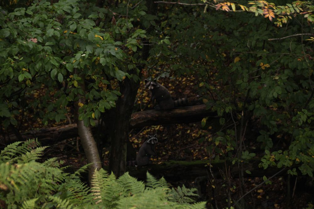Bogenschießen Herbstturnier 3D-Ziel Waschbären